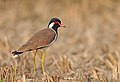 Red-wattled lapwing(Vanellus indicus).jpg