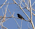 Red-winged blackbird at Silver Sands State Park (21063).jpg