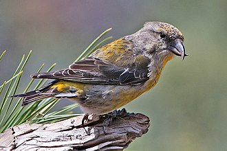 Red crossbill - Female red crossbill