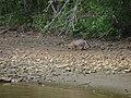Red Fox7 (6330282479).jpg