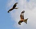 Red Kites 1 (5939892484).jpg