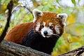 Red Panda (37661650535).jpg