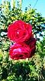 Red Rose 2018 11.jpg