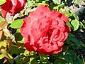 Red Rose flowers 21.jpg