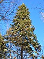 Red Spruce in New Hampshire2.jpg