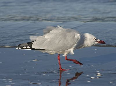Red billed gull-07.jpg