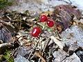Redberries2.jpg