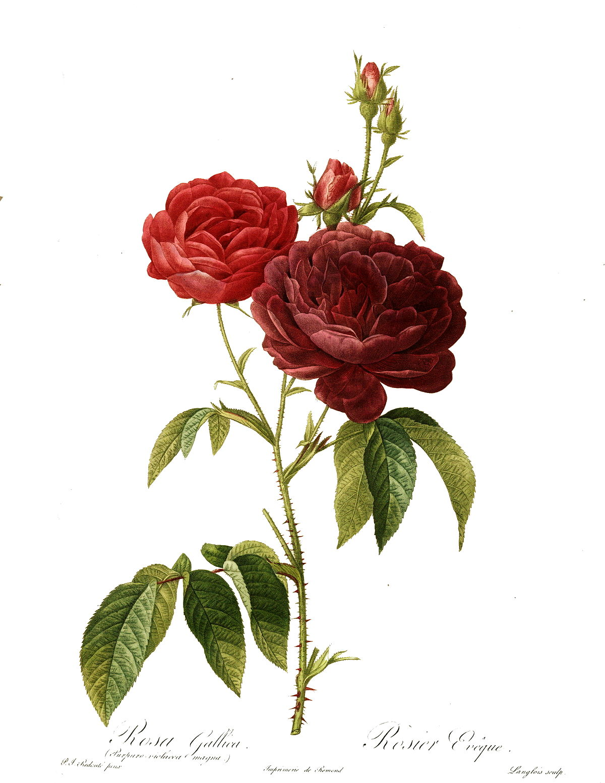 Redoute - Rosa gallica purpuro-violacea magna.jpg