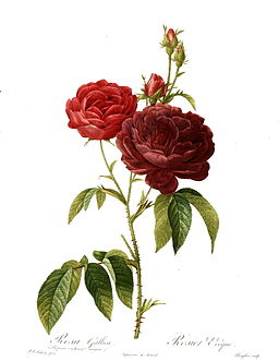 Redoute - Rosa gallica purpuro-violacea magna