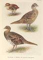 Reeves's and Elliot's Pheasant plumage by Henrik Grönvold.png