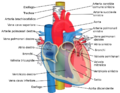 Relations of the aorta, trachea, esophagus and other heart structures-ITA.png