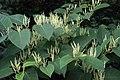 Reynoutria japonica flower (28).jpg