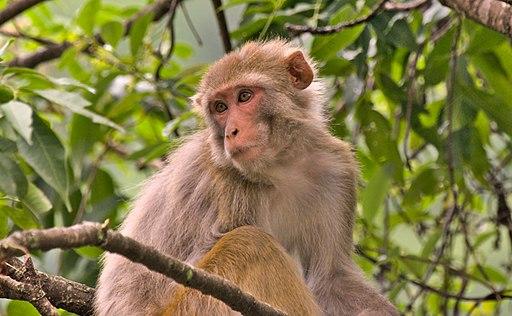 Female rhesus macaque monkey