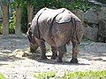 Rhinoceros-unicornis-4.jpg
