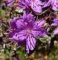 Rhododendron polycladum 3.jpg