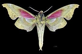 Rhodoprasina callantha MHNT CUT 2010 0 227 Doi Inthanon Chiang Maï Thailand male ventral.jpg