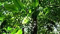 Rhodospatha latifolia Poepp. (8986273508).jpg