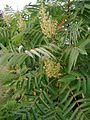 Rhus-typhina-flowers.JPG
