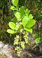 Rhus longipes-flowers.jpg
