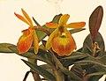 Rhyncattleanthe Young-Min Orange x Epidendrum porpax -台南國際蘭展 Taiwan International Orchid Show- (39891593745).jpg