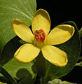 Ribes aureum20120505 14.jpg