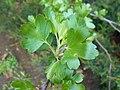 Ribes aureum 2017-04-17 7350.jpg