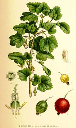 Ribes grossularia L..jpg
