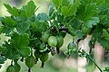 Ribes uva-crispa Sverige 1.JPG