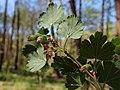 Ribes uva-crispa kz06.jpg