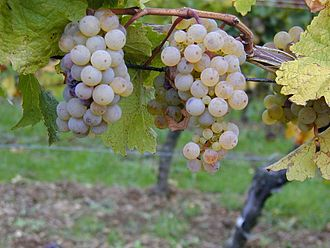 Riesling - Riesling grapes growing in Alsace.