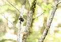 Rifleman New Zealand Acanthisitta chloris.jpg