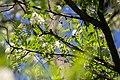 Robinie Robinia pseudoacacia Nationalpark Donau-Auen Lobau Mai 2016 01.jpg