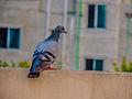 Rock Pigeon from Bangladesh.jpg