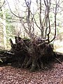 Roots or branches - geograph.org.uk - 1204246.jpg