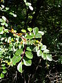 Rosa elliptica fruits2.jpg