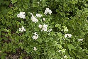 Rosa multiflora - Image: Rosa multiflora 03