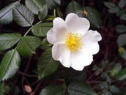 Rosa Blanca De York Wikipedia La Enciclopedia Libre