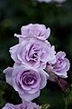 Rose, Blue Bajou.jpg