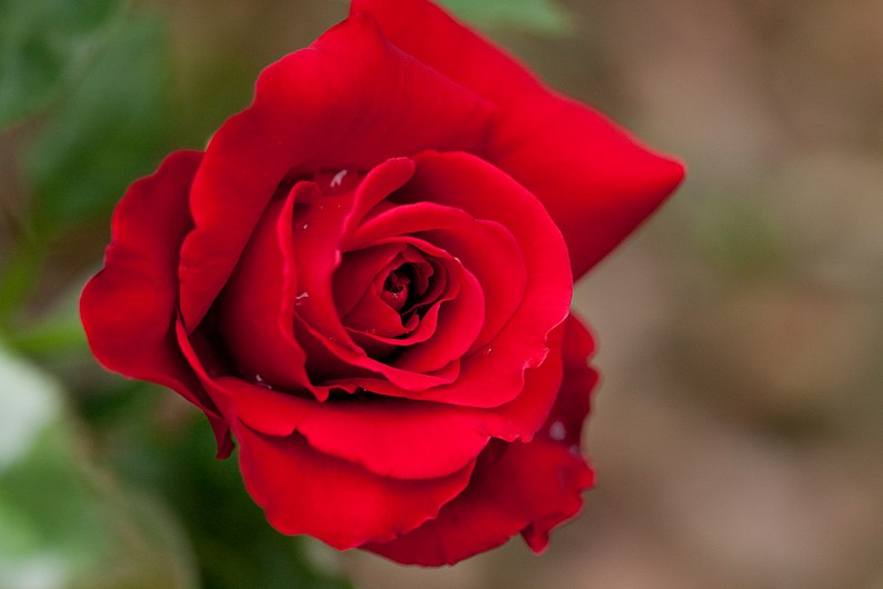 Rose, Konrad Henkel.jpg
