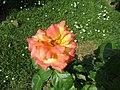 Rose Philippe Noiret.jpg