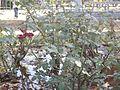 Rose garden bush.jpg
