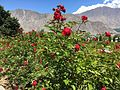 Roses at Gilgit II.jpg