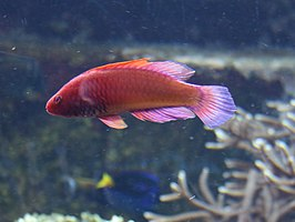 Rosy-scales fairy-wrasse.jpg