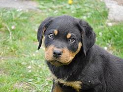 Rottweiler puppy 2 months old.jpg