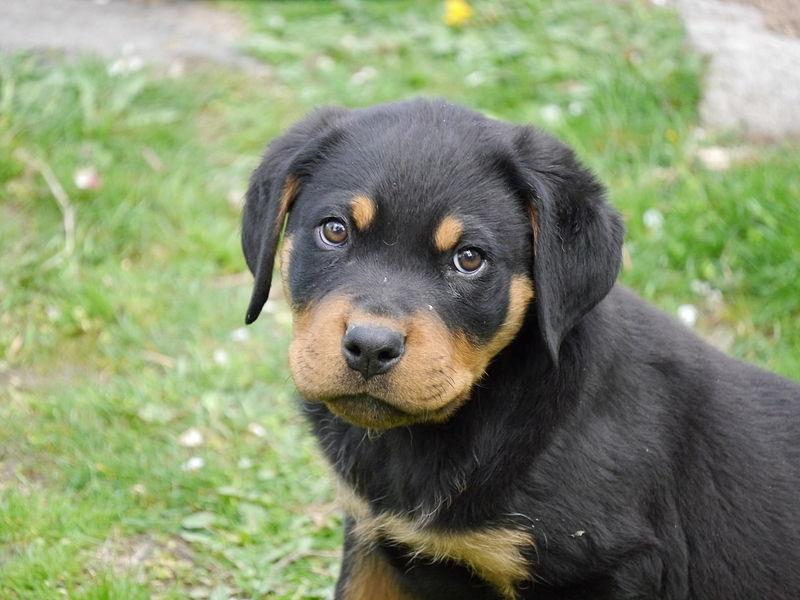 File:Rottweiler puppy 2 months old.jpg