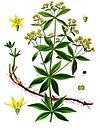 Rubia tinctorum - Köhler–s Medizinal-Pflanzen-123.jpg