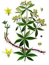 Rubia tinctorum - Köhler–s Medizinal-Pflanzen-123