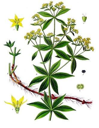 Rose madder - Image: Rubia tinctorum Köhler–s Medizinal Pflanzen 123