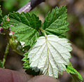 Rubus leucodermis 4.jpg
