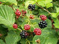 Rubus plicatus fruit kz1